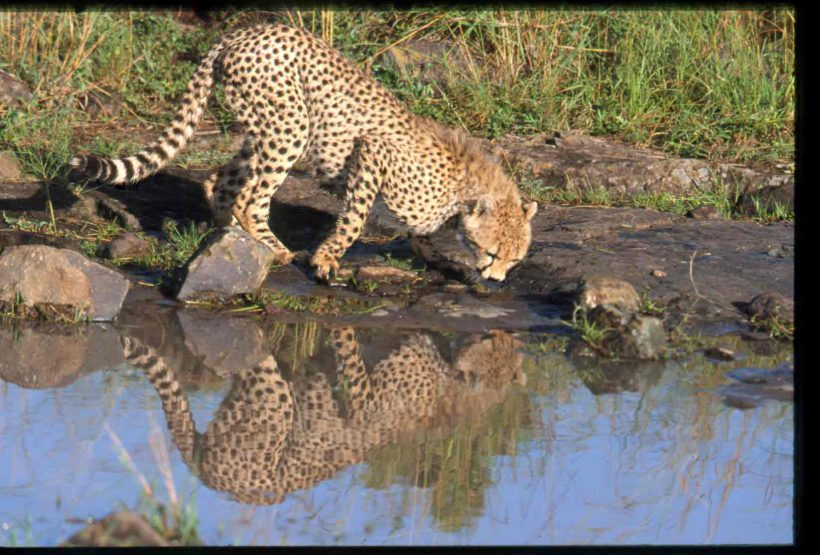 Cheetah-drinking-water-AN150