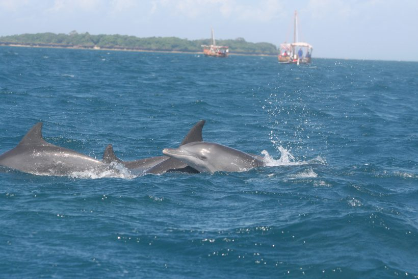 Indian Ocean Bottlenose Dolphin group, Kisite Mpunguti MPA G